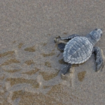 Riviera Nayarit: committed to the protection and conservation of the sea turtle